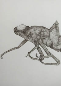 Drawing of a nymph